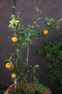 Baby manderines grown in garden pots