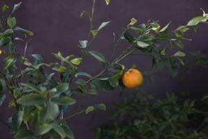 Baby manderine grown in garden pot in Sydney