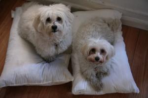 Mini & Cooper enjoy their new bed pillows