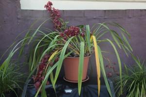 Orchids in flower grown in garden pots in Sydney