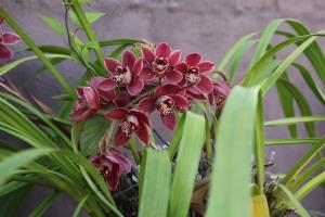 Orchids grown in a garden pot in Sydney