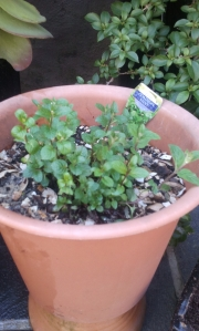 Mint re planted one month ago has now doubled in size.