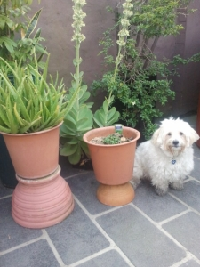 Cooper with some of our pot plants in our inner City of Sydney courtyard