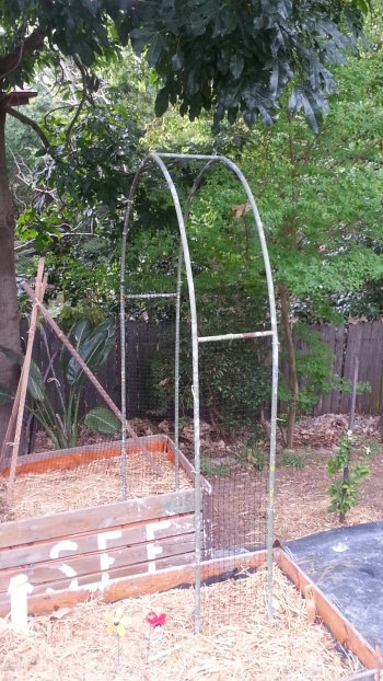 Recycled garden metal arch used as a sugar snap trellis